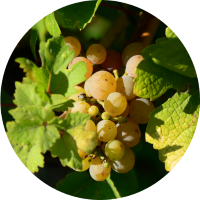 weisswein-trauben-lugana-riesling-vinobianco